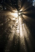 USA, Oregon, sunlight shining on fir trees in forest, sunrise