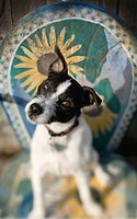 Jack Russell Terrier sitting on decorative chair tilting it's head with one ear up