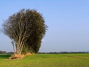 Long lines of tree's planted as living fences to break the wind and shelter the fields. Jutland, Denmark