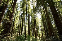 Giant redwood trees in Redwoods National Park