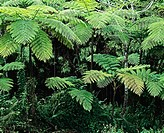 Ferns ´Carbet´ tropical rainforest in ´La Soufrière´ volcanic mountain. Guadeloupe. French West Indies.