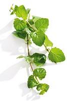 Mint, Satureja douglasii