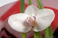 White orchid in glass bowl, close-up