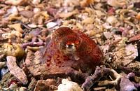 Atlantic Bobtail (Sepiola atlantica). Galicia, Spain