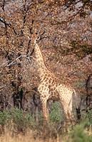 Giraffe (Giraffa camelopardalis). Zimbabwe