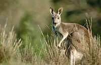 Red Kangaroo (Macropus rufus). South Australia