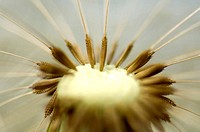 Dandelion, blow ball, close-up