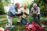 Three senior men planting together in garden, smiling