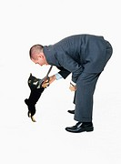 Shiba Inu dog playing with  businessman´s tie, side view