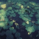 Water lillies on pond surface, defocused