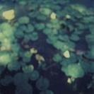 Water lillies on pond surface, defocused