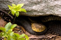 Timber Rattlesnakes, Crotalus horridus, northeastern United States.  Venomous pitvipers, widely distributed throughout eastern United States.  Legally...