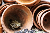 Common Toad (Bufo bufo) situated in hunting position amongst terracotta flowerpots in greenhouse. Norfolk, Uk, April