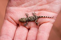A little Gecko in an hand