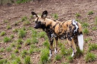 African wild dog or painted dog in a zoo in Edinburgh, UK