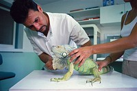 Taking care of a Iguana's claws. CRARC (Centre de Recuperació d'Amfibis i Reptils de Catalunya) lab, Masquefa, Barcelona province, Spain