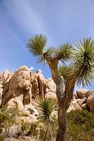 USA, California, Joshua tree NP, Joshua tree (Yucca brevifoa)