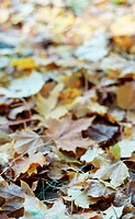 Coloured leaves in autumn, lying on the ground (thumbnail)