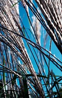 Grass, reed, in the garden