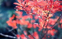 Branches with red leaves in a garden