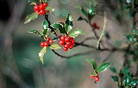 Branches with red berries and green leaves