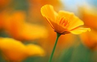 Golden poppy (Eschscholzia californica). South Island, New Zealand