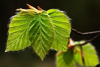 Leaves of Common Beech. Fagus sylvatica. Schleswig-Holstein, Germany