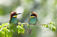 European Bee Eater (Merops apiaster)