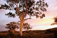 Australia, South Australia, Flinders Range. Red River Gums (Eucalyptus camaldulensis)