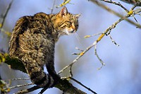 Felis silvestris, Common Wild Cat, in a tree
