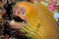 Yellow moray eel (Gymnothorax prasinus).  Poor Knights Islands, New Zealand. South Pacific Ocean
