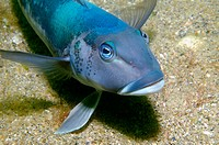 Blue cod (Parapercis colias). Patterson Inlet. Stewart Island. New Zealand. South Pacific Ocean