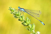 Common Ischnura, Blue-tailed Damselfly (Ischnura elegans). Bavaria, Germany, Europe.