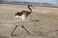 Greater Flamingo (Phoenicopterus ruber), young