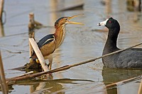 Least Bittern (Ixobrychus exilis) with American Coot (Fulica americana)