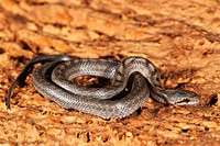 Ladder Snake (Elaphe scalaris), young