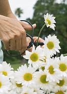 Cutting daisies