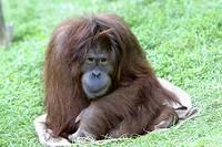 Monkey (Pongo pygmaeus)