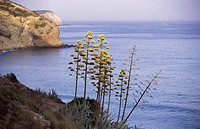 South coast by Salema, Blossoms of the Agave, Portugal