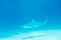 Carcharhinus amblyrhynchos, Shark