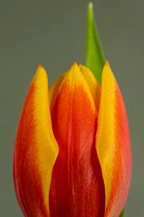 Single red and yellow tulip blossom