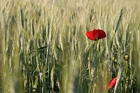 A red poppy seen amidst the field.