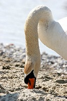 A swan inserting its beak into sand in hunt for food.