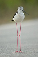 Black-winged Stilt (Himantopus himantopus) adult, perched on the road . Comunidad Valenciana, Spain