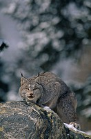 Lynx Crouching on Rock