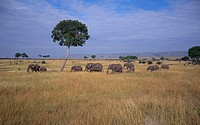 African Elephants Walking in Savanna