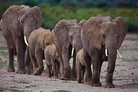African Elephants Walking in Line