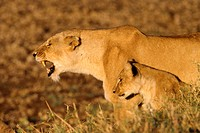 Lioness Roaring with Cub at Side