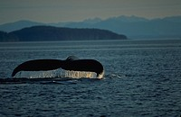 Fluke Roll, Humpback Whale, Frederick Sound, Inside Channel, Southeast Alaska.