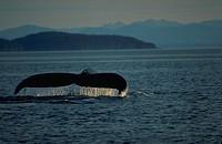 Fluke Roll, Humpback Whale, Frederick Sound, Inside Channel, Southeast Alaska.